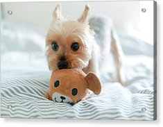 Yorkie Playing With Teddy Toy Acrylic Print by Cheryl Chan