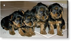 Yorkie Puppies-we're Sorry Acrylic Print