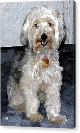 Yorkipoo Dog Acrylic Print by Olde Time  Mercantile