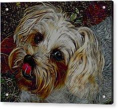 Yorkshire Terrier Artwork Acrylic Print by Lesa Fine
