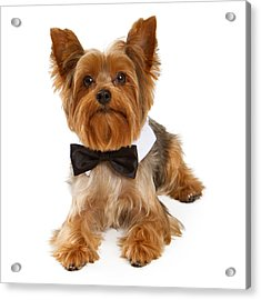 Yorkshire Terrier Dog With Black Tie Acrylic Print