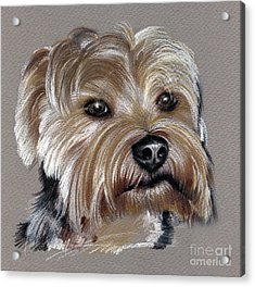 Yorkshire Terrier- Drawing Acrylic Print