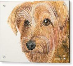 Yorkshire Terrier Face Acrylic Print by Kate Sumners