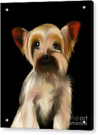 Yorkshire Terrier Pup Acrylic Print