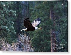 Yosemite Bald Eagle Acrylic Print