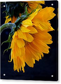 Acrylic Print featuring the photograph You Are My Sunshine by Brenda Pressnall