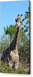 You Called Acrylic Print by Allan McConnell