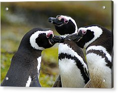 You May Kiss The Bride - Penguins Acrylic Print by DerekTXFactor Creative
