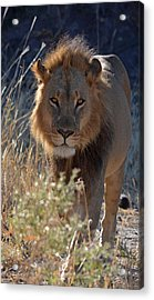 You Want Trouble Acrylic Print by Allan McConnell