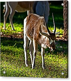 Youngster Addax Acrylic Print