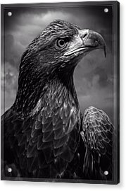 Young Bald Eagle V4 Acrylic Print by F Leblanc