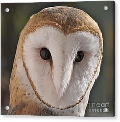 Young Barn Owl Acrylic Print by K L Kingston