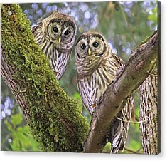 Young Barred Owlets  Acrylic Print