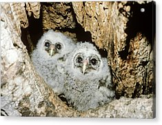 Young Barred Owls In Nest Snag Acrylic Print by Jim Zipp