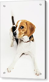 Young Beagle In The Studio Acrylic Print by Kevin Vandenberghe