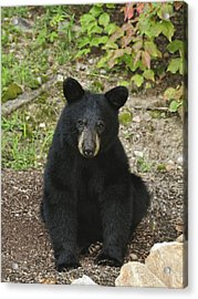 Young Bear 1 Acrylic Print