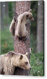 Young Bears Clinging To Tree Acrylic Print by John Daniels