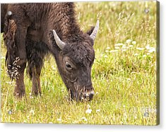 Acrylic Print featuring the photograph Young Bison by Belinda Greb