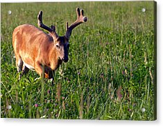 Young Buck Acrylic Print by Eleanor Abramson