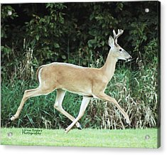 Young Buck Acrylic Print by Lorna Rogers Photography