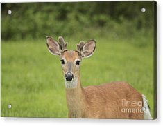 Young Buck With Velvety Antlers Acrylic Print by Jim Lepard