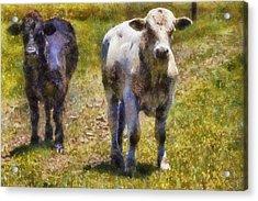 Young Bulls Acrylic Print by Barry Jones