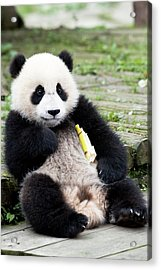Young Captive Giant Panda Eating Bamboo Acrylic Print