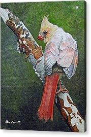Young Cardinal  Acrylic Print by Ken Everett