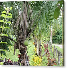 Young Coconut Tree Acrylic Print by Cyril Maza