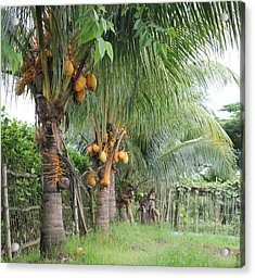 Young Coconut Trees Acrylic Print by Cyril Maza