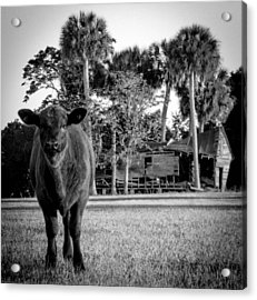 Young Cow Old Barn Acrylic Print by Christy Usilton