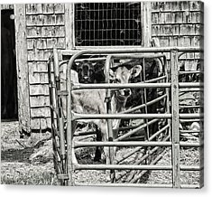 Young Cows In Pen Near Barn Maine Photograph Acrylic Print by Keith Webber Jr