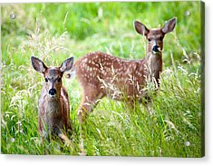 Young Deer Acrylic Print by Crystal Hoeveler