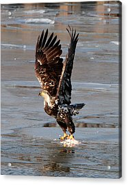 Acrylic Print featuring the photograph Young Eagle by John Freidenberg