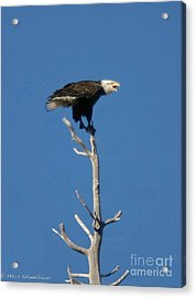 Acrylic Print featuring the photograph Young Eagle by Mitch Shindelbower