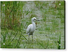 Juvenile Little Blue Heron At Willow Pond Acrylic Print by Dan Williams