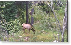 Acrylic Print featuring the photograph Young Elk Grazing by Fortunate Findings Shirley Dickerson