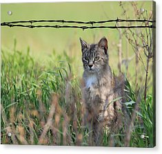 Young Farm Kitty Acrylic Print