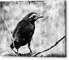 Young Grackle Acrylic Print by Cassie Peters