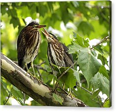 Acrylic Print featuring the photograph Young Green Herons by David Lester
