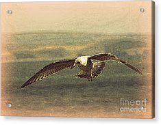 Young Gull Acrylic Print by Linsey Williams