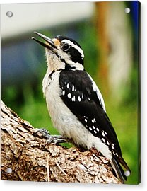 Young Hairy Woodpecker Acrylic Print by VLee Watson