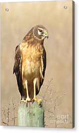 Young Harrier Acrylic Print by Frank Townsley