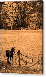Young Horse Acrylic Print by Tommytechno Sweden