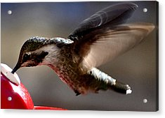 Acrylic Print featuring the photograph Young Hummingbird Male Anna by Jay Milo