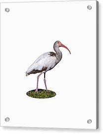Acrylic Print featuring the photograph Young Ibis Gazing Upwards by John M Bailey