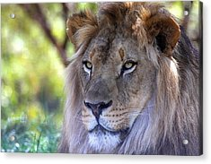 Young King In The Morning Acrylic Print by Ruth Jolly