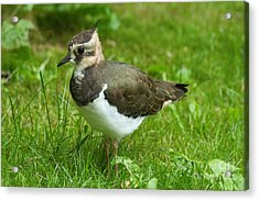 Young Lapwing Acrylic Print by Helmut Pieper