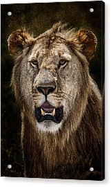 Acrylic Print featuring the photograph Young Male Lion Texture Blend by Mike Gaudaur