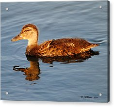 Young Mallard Hen At Ocracoke Acrylic Print by Dan Williams
